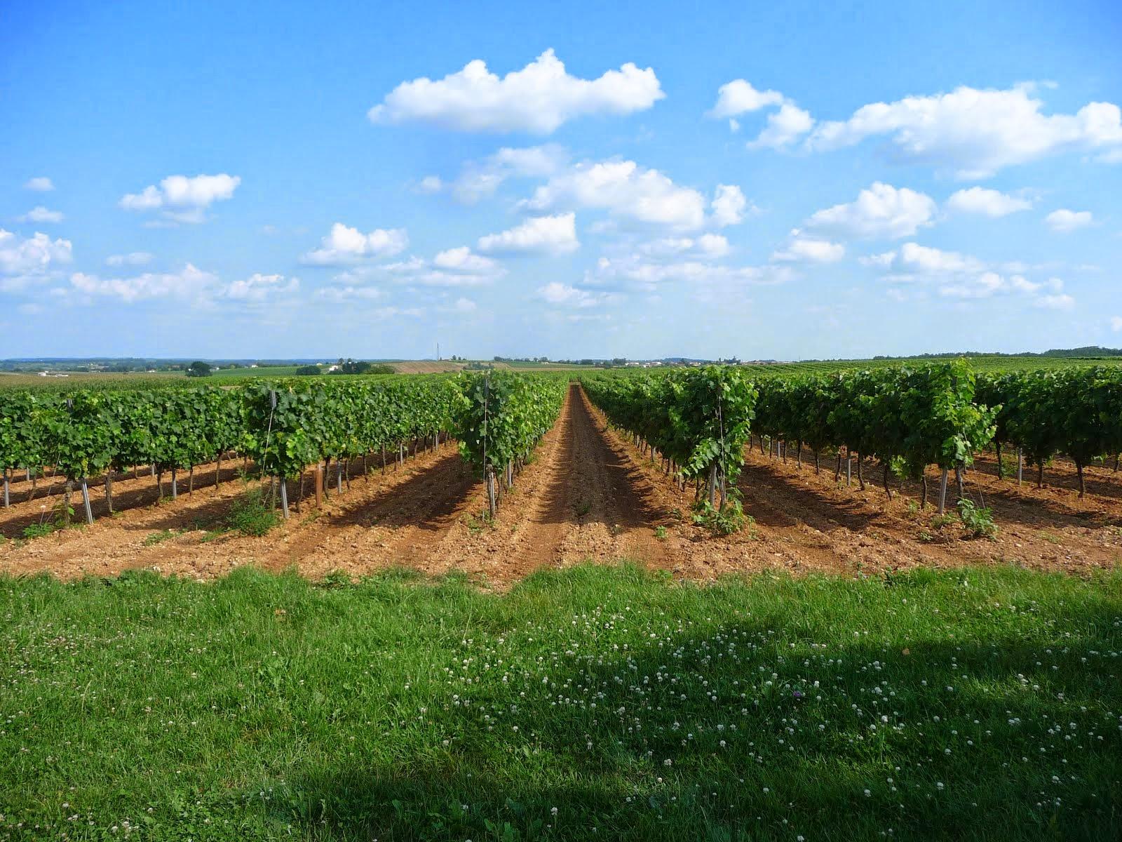 A vineyard near Cognac, not far from home