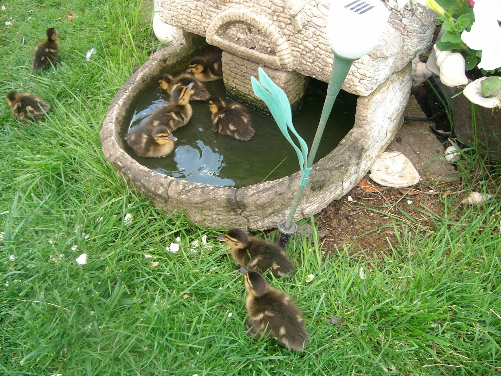Safe place for ducklings to swim