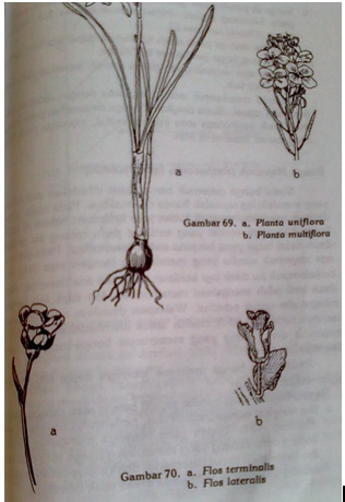 Hairiani miiyanni morfologi tumbuhan tentang bunga bunga di ketiak daun flos lateralis atau flos axillaris misalnya kembang sepatu hibiscus rosa sinensis ccuart Gallery