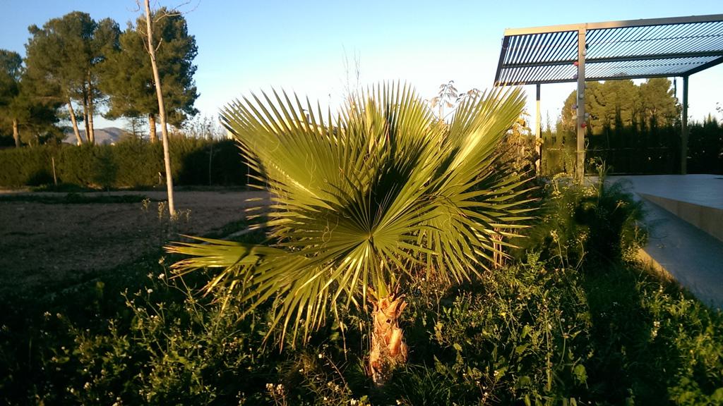 palmera, yecla