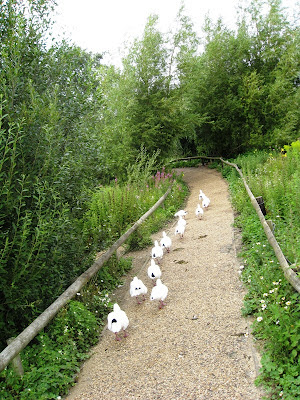 White ducks following one another along a path