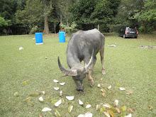 Kerbau makan durian