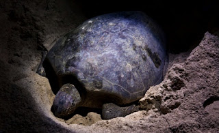 Schildkröte kommt am Strand an