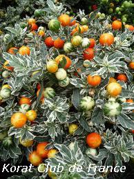 Cerisier d'amour, Cerisier de Jérusalem ou Morelle faux piment
