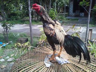 ayam bangkok jawara