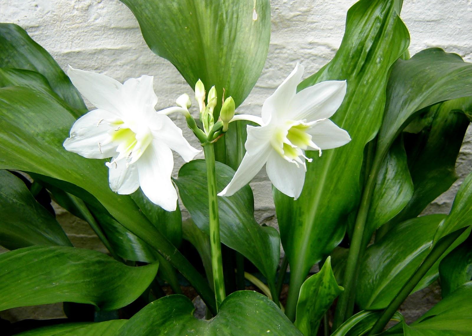 V e r d e c h a c o lirio de amazonas for Plantas de interior que no necesitan luz