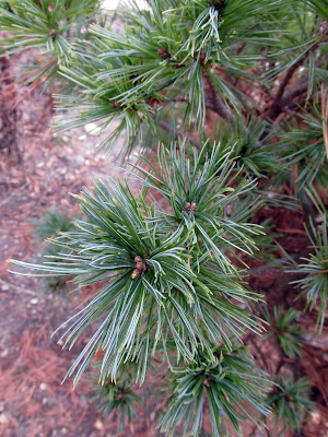 Blue Shag white pine