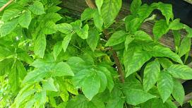 Folhas verdes de uma planta trepadeira