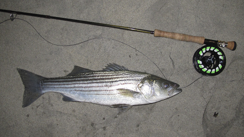 Stripers on the Fly