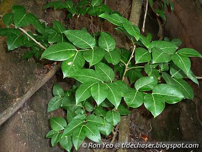 Nyireh (Xylocarpus rumphii)