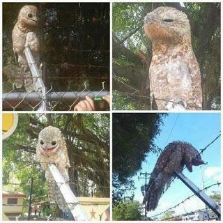 طائر البوتو