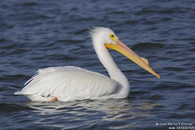 pelicano blanco americano Pelecanus erythrorhynchus