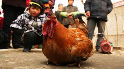 Ayam Jago Yang Bisa Bertelur