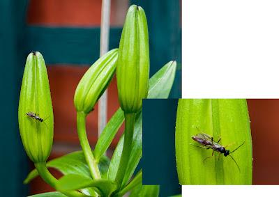 ichneumon wasp on lily
