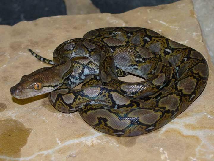 Dunia Reptile Dan Amphibia Cara Menjinakkan Reticulatus Phyton