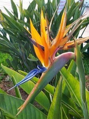 Flor del ave del paraíso