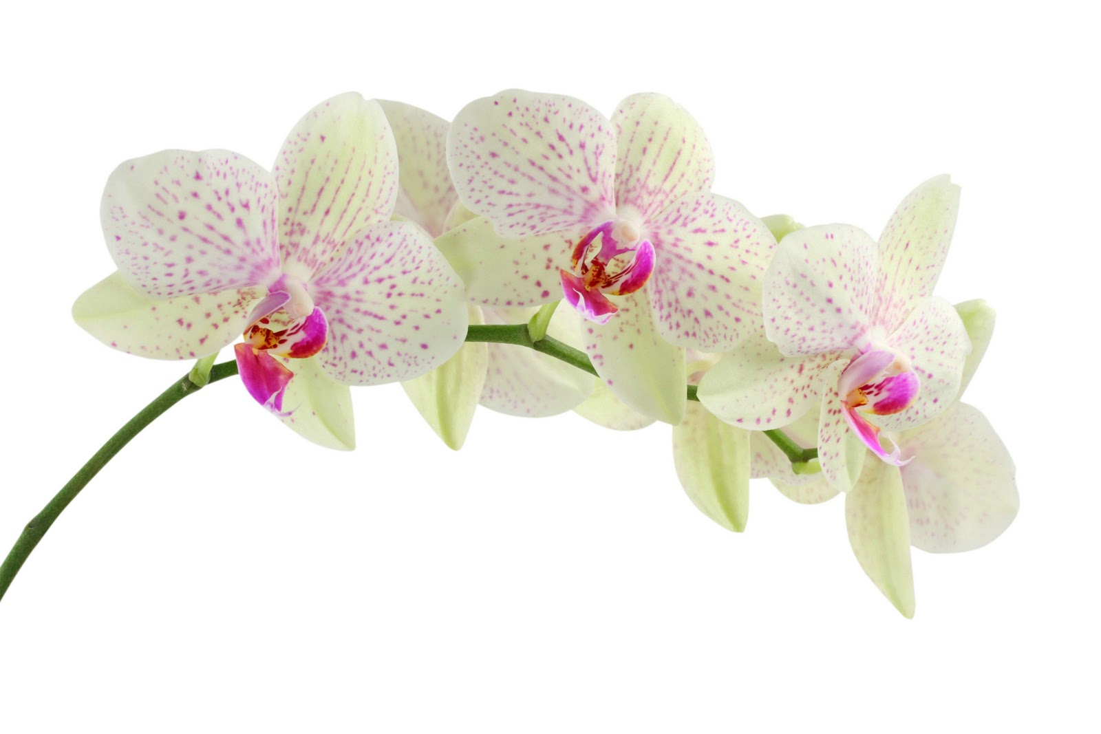 Flowers For Flower Lovers Orchid Flowers