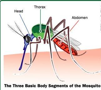 3 bagian Utama Nyamuk