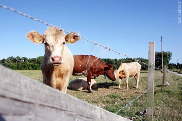 aliciasivert, alicia sivertsson, alicia sivert, gotland, semesterlivet, semester, kor, kossor, kvigor, ko, cow, cows