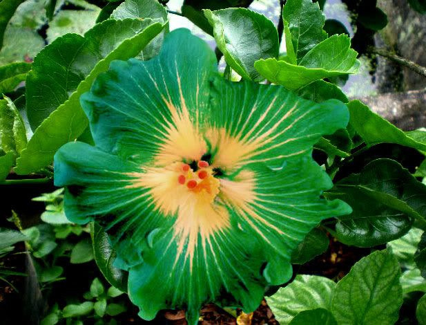 Green Hibiscus Flower
