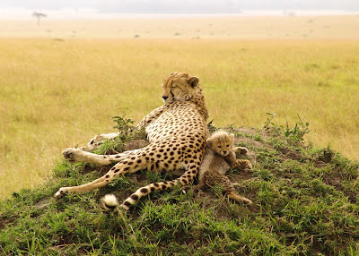Leopardos en su habitat natural mama e hijo