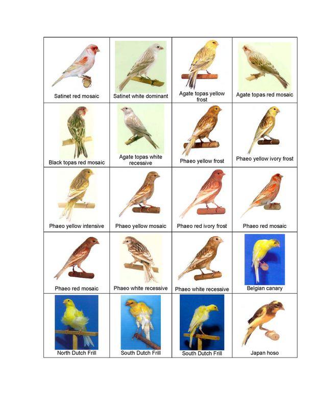 Foto-foto jenis burung kenariJenis Burung Kenari