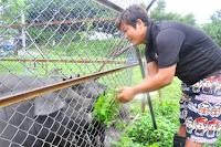 Criador de porcos torna-se defensor dos direitos animais