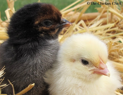 Marans chicks, Black Copper and Wheaten