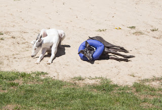 Blue and Bettina Greyhound-a different kind of cone of shame