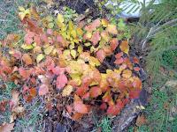 Dead poison ivy plants