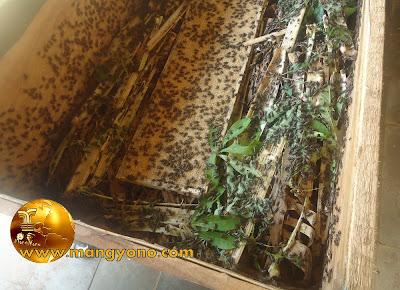 FOTO : Jangkrik sedang dikasih makan daun sigkong