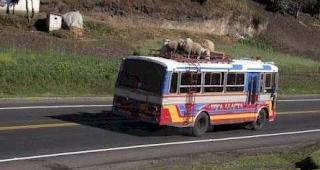 smešne slike: ovce na krovu autobusa