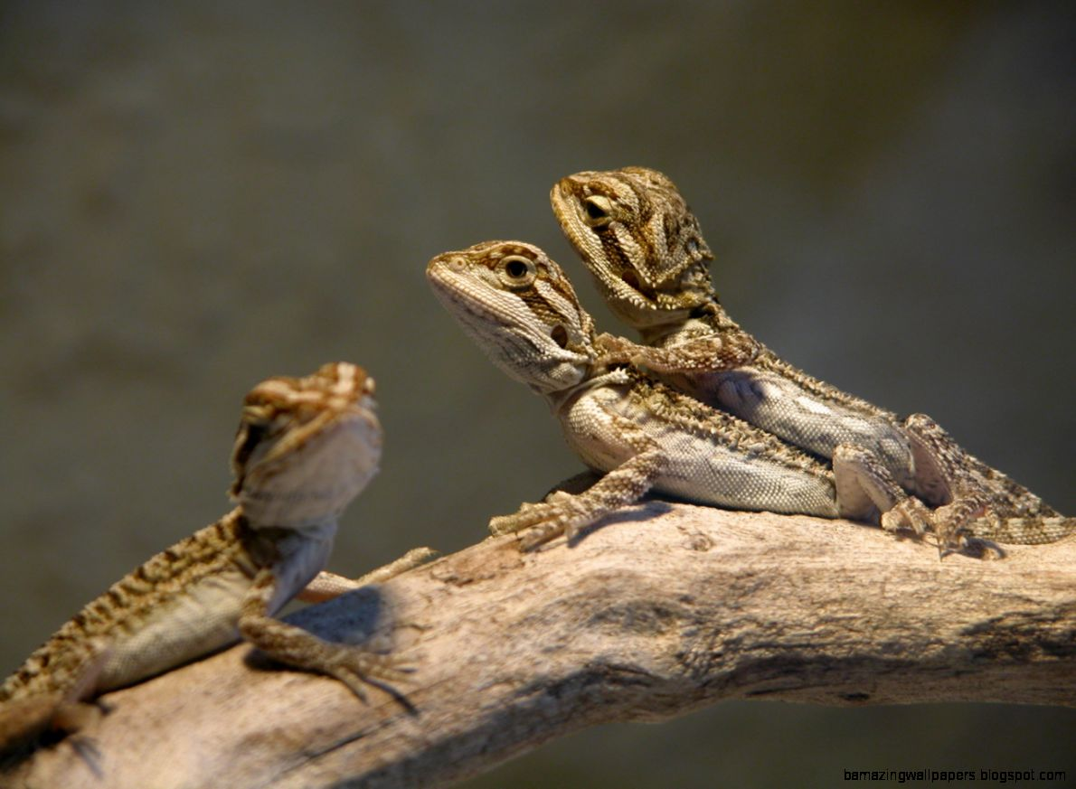baby bearded dragon wallpaper amazing wallpapers