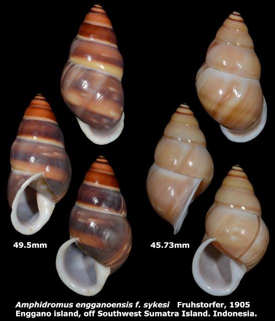 Amphidromus enganoensis f. sykesi 45.73 & 49.5mm