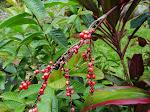 Ti berries