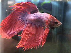 betta disease swim bladder disorder nice betta