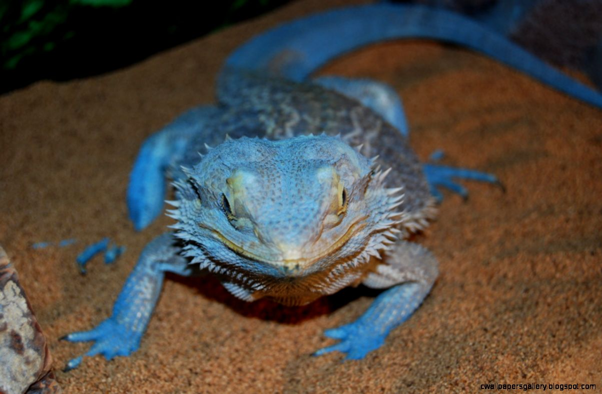 Blue bearded dragon wallpapers gallery view original size voltagebd Choice Image