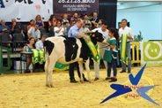 Feira de Maio 2017 - Moita - Concurso vaca Frísia