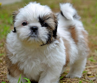 Shih Tzu Puppy Photo