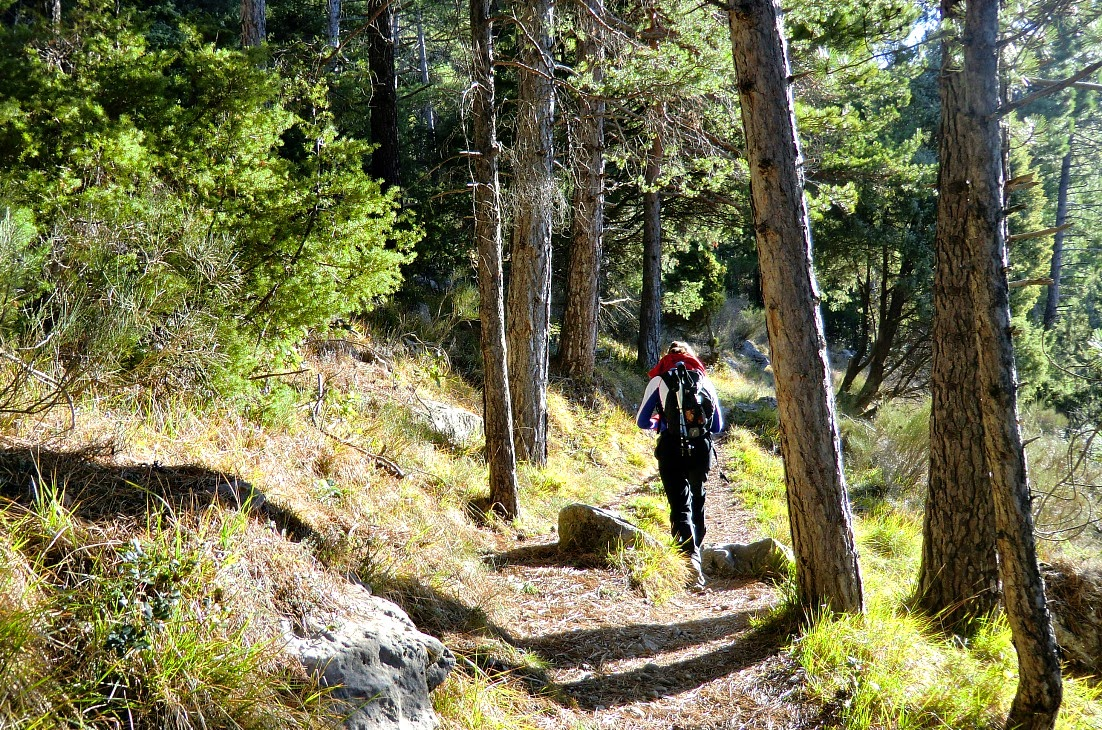 Ascending in a pine forest to Cime de Baudon