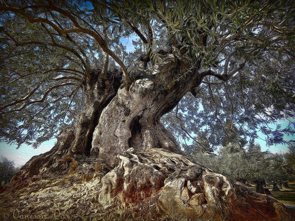 Old olive tree © Vanessa Vox