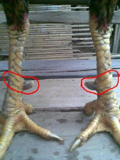 Gambar Jenis Sisik-sisik Ayam Aduan | Tarung Jago