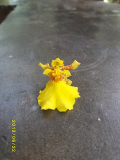 Dancing Lady Orchid is also known as Oncidium
