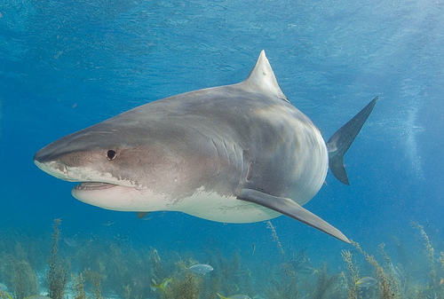 Tiger shark looks like gw