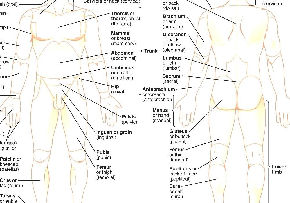 List Of Human Anatomical Regions Show Human Anatomy