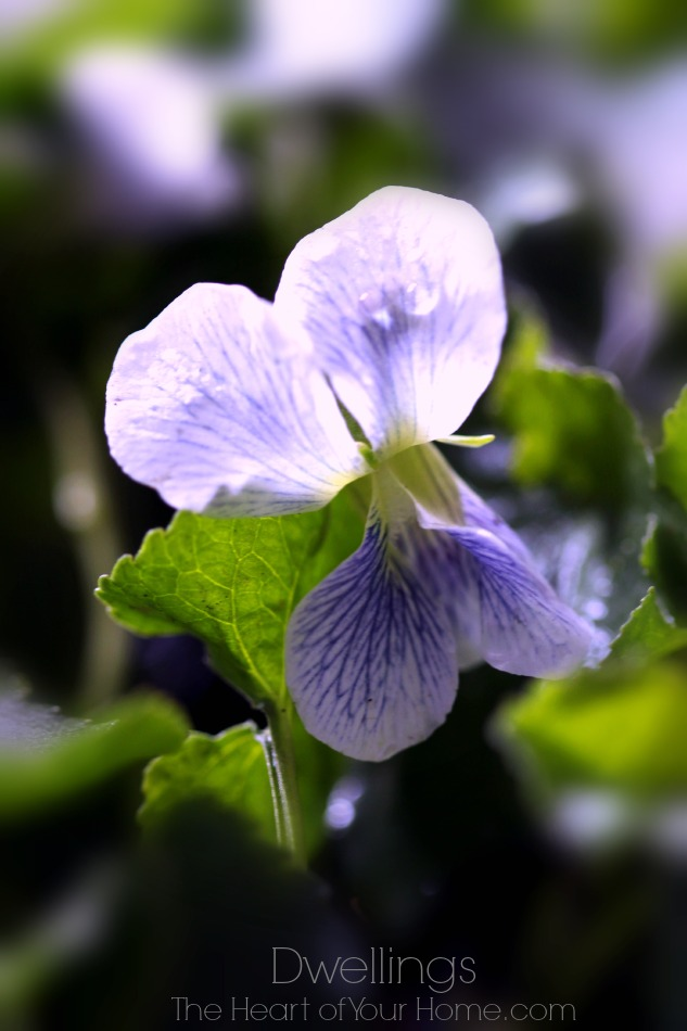 wild violets have a delicate bloom