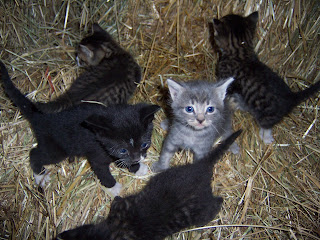 Barn Cats Kittens For Adoption Chittenden County Vt