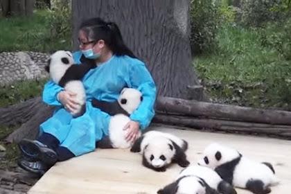 Cuma Peluk dan Asuh Panda, Anda Akan Digaji Rp440 Juta