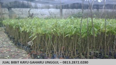 Bibit Kayu Gaharu di Jawa Tengah