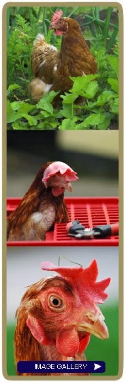rescued battery hens http://www.bhwt.org.uk/